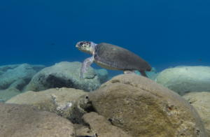 Μάνη: Το παιχνίδι με τις θαλάσσιες χελώνες έκρυβε παγίδες – Οι στιγμές που δύσκολα θα ξεχάσουν [video]