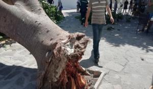 Πάρος: Βγήκε να καπνίσει και τον… πλάκωσε ο φίκος! «Δεν φυσούσε καθόλου» λέει ο δήμαρχος