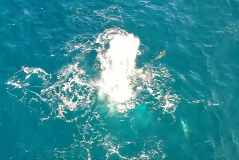 Εύβοια: Η στιγμή που η θάλασσα αρχίζει να αφρίζει – Δελφίνια κάνουν επίθεση σε κοπάδι από σαρδέλες – video