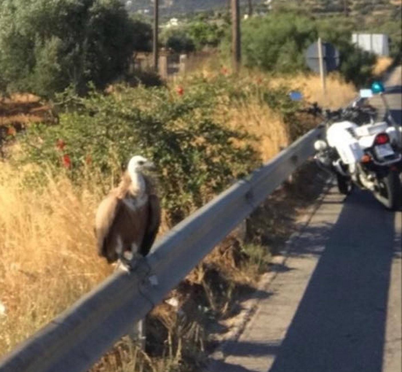 Κρήτη: Αυτός είναι ο γυπαετός που εφορμούσε στην εθνική οδό – Η επιχείρηση για την απομάκρυνσή του 2