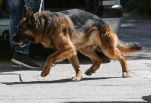 Ηράκλειο: Το λυκόσκυλο της οικογένειας έστειλε στο χειρουργείο το 7χρονο παιδί τους – Η άγρια επίθεση!