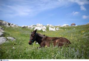 Γρεβενά: Σκότωσαν άλογο που είχε γεννήσει