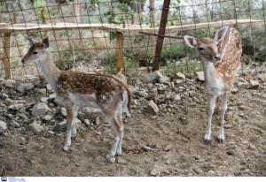 Κατερίνη: Αδέσποτα σκυλιά σκότωσαν τα εφτά ελάφια στον δημοτικό κήπο!