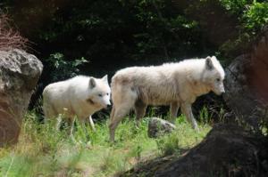 Κοζάνη: Νυχτερινές περιπολίες για δύο λύκους που κόβουν βόλτες!