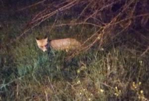 Κοζάνη: Πήραν τα κινητά τους τηλέφωνα και κατέγραψαν αυτές τις εικόνες! Αλεπού επιτέθηκε σε γάτα