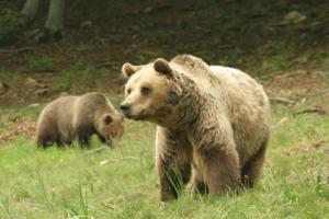 Φλώρινα: Ανησυχία για την αρκούδα που κινείται σε κατοικημένη περιοχή – Τα μέτρα που αποφασίστηκαν!