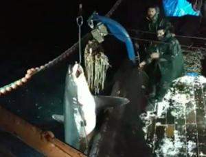 Καβάλα: Στο αγκίστρι των ψαράδων αυτός ο καρχαρίας – Η στιγμή που τον βγάζουν από τη θάλασσα – video