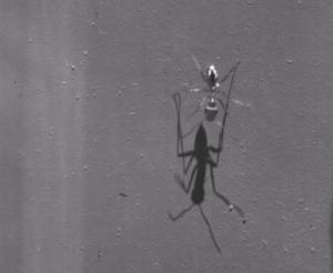 """Το πιο γρήγορο μυρμήγκι στον πλανήτη – """"Τρέχει"""" σαν… τον Γιουσέιν Μπολτ! video"""