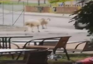 Πρόβατα τσακώνονται σε δρόμο του Αγρινίου!