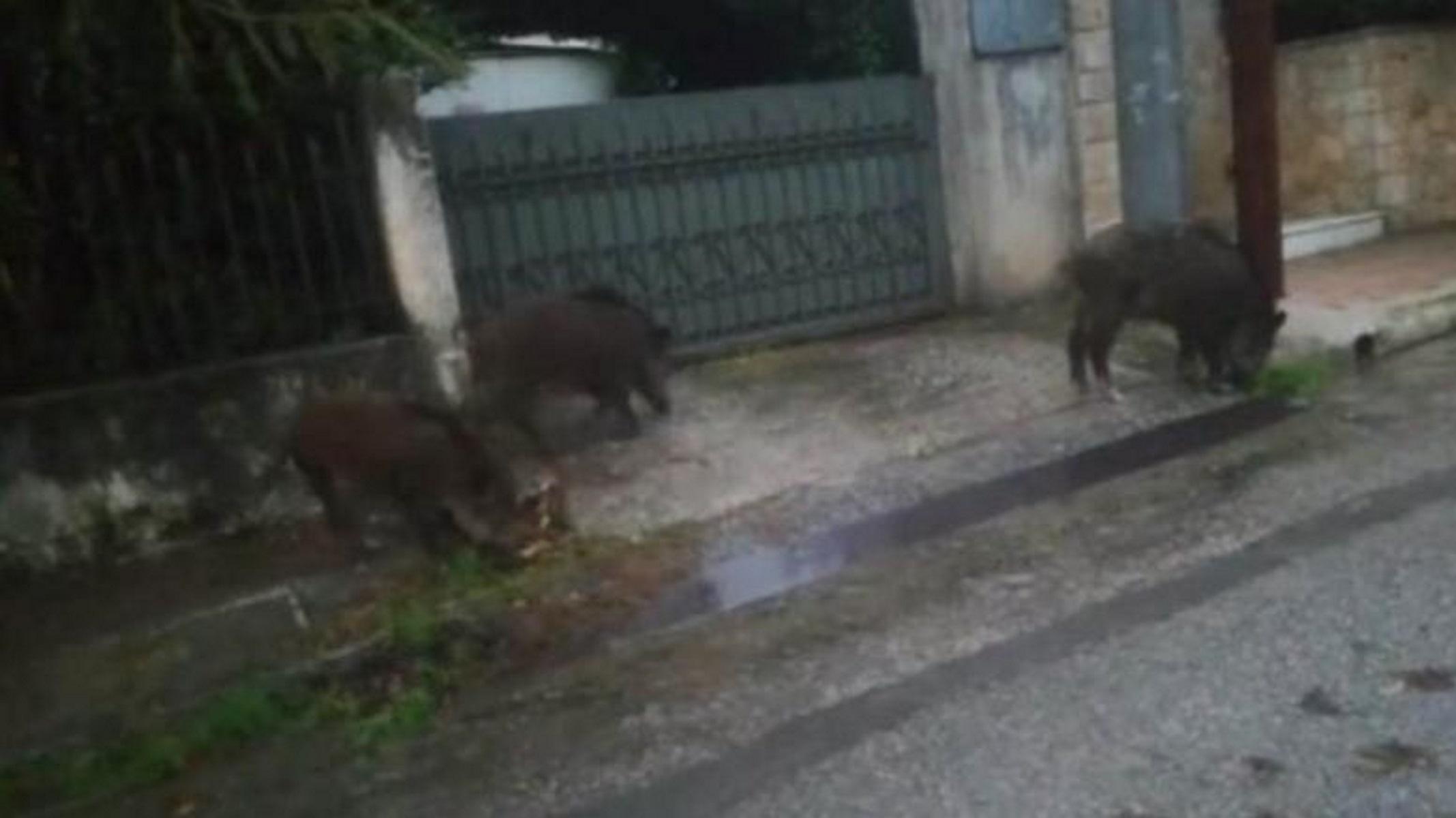 Αγριογούρουνα βολτάρουν έξω από σπίτια στον Διόνυσο! Video