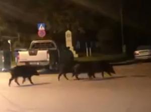 Τρίκαλα: Αγριογούρουνα… εισέβαλαν μέσα στην πόλη!