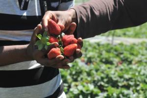 Μανωλάδα: Στα «μαλακά» ο φραουλοπαραγωγός που πυροβόλησε εργάτες