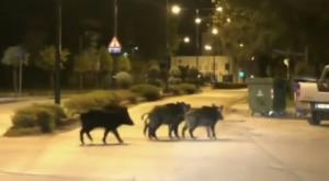 Τρίκαλα: Τα αγριογούρουνα έφτασαν στο κέντρο της πόλης – Η επιχείρηση απεγκλωβισμού τους [pics]