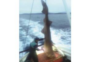 Σκιάθος: Έπιασε αυτό το ψάρι μετά από 40 χρόνια στη θάλασσα! Η σπάνια απόφαση του ψαρά