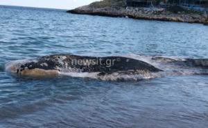Κερατέα: Μικροί και μεγάλοι πάγωσαν με αυτό που είδαν στην παραλία! Θαλάσσιο κήτος ξεβράστηκε στην Κακιά Θάλασσα