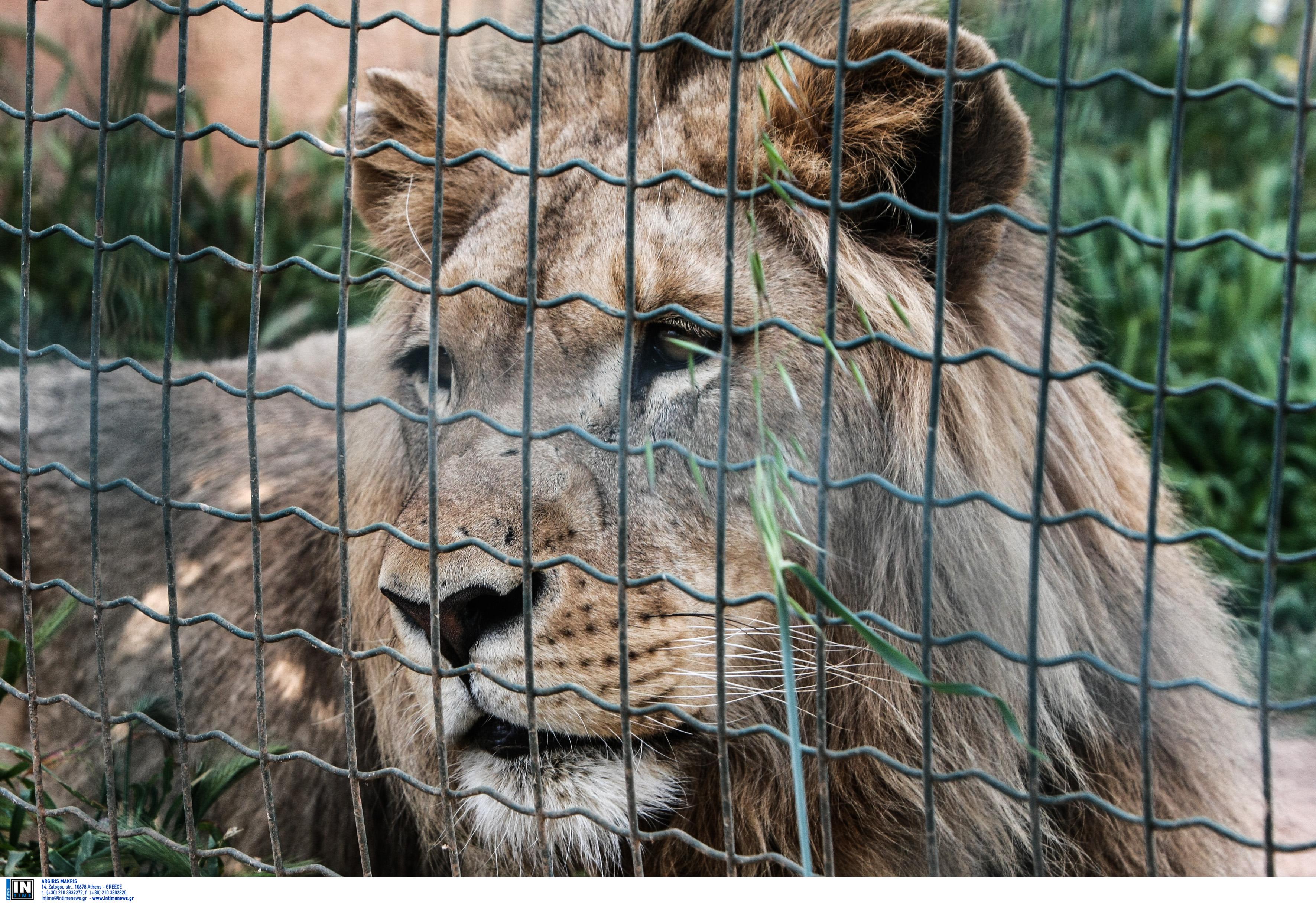 Με κορονοϊό ένας γορίλας και δυο λιοντάρια – Τι συμπτώματα έχουν