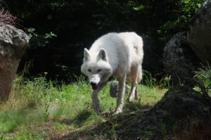 Κοζάνη: Κυνηγόσκυλο κατασπαράχτηκε από αγέλη λύκων!