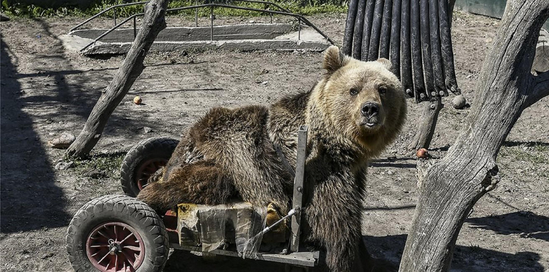 Θλίψη! Πέθανε ο Ούσκο, η πρώτη αρκούδα σε αναπηρικό αμαξίδιο [video]