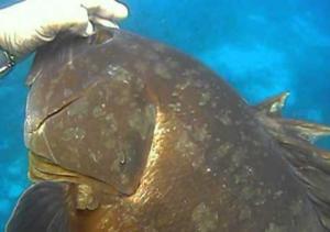 Κρήτη: Με δόλωμα μια σουπιά έβγαλε αυτό το ψάρι – Το τσίμπημα στο αγκίστρι και οι εικόνες που ακολούθησαν – video