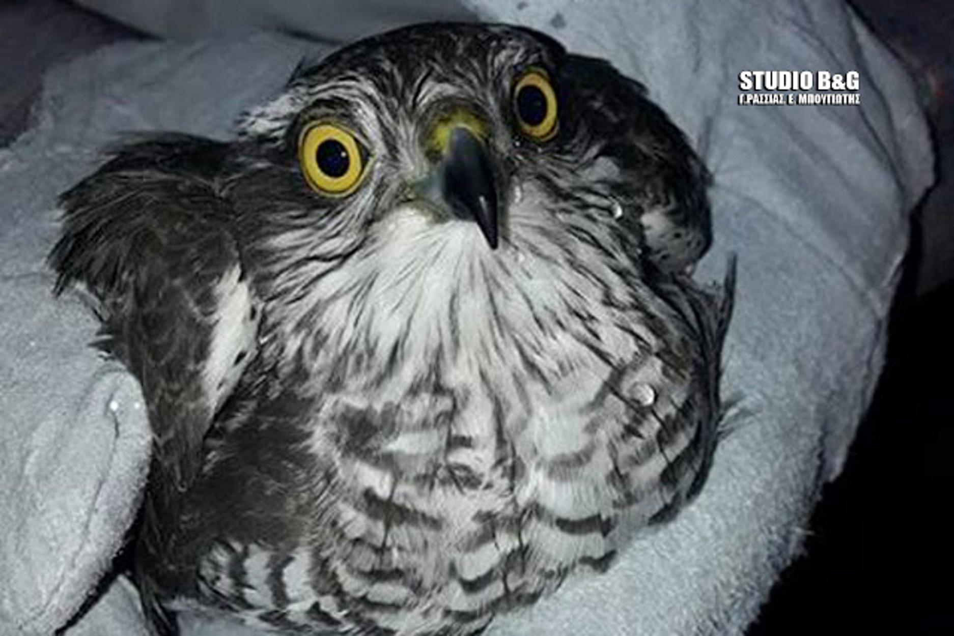 Γεράκι τραυματίστηκε από σκάγια κυνηγετικού όπλου - Πώς έζησε το άγριο πουλί [pics, video]