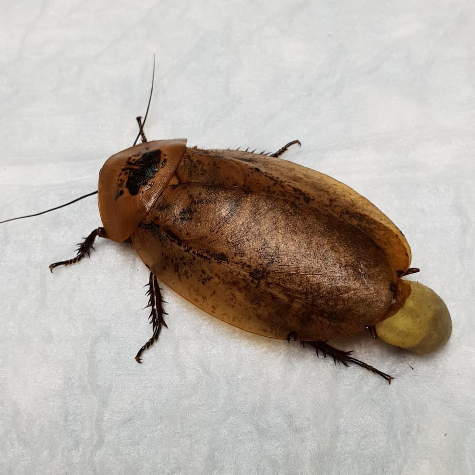 κατσαρίδα