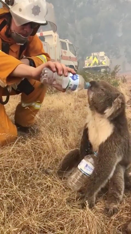 Συγκλονιστική στιγμή – Πυροσβέστης δίνει νερό σε ένα κοάλα ενώ οι φλόγες μαίνονται