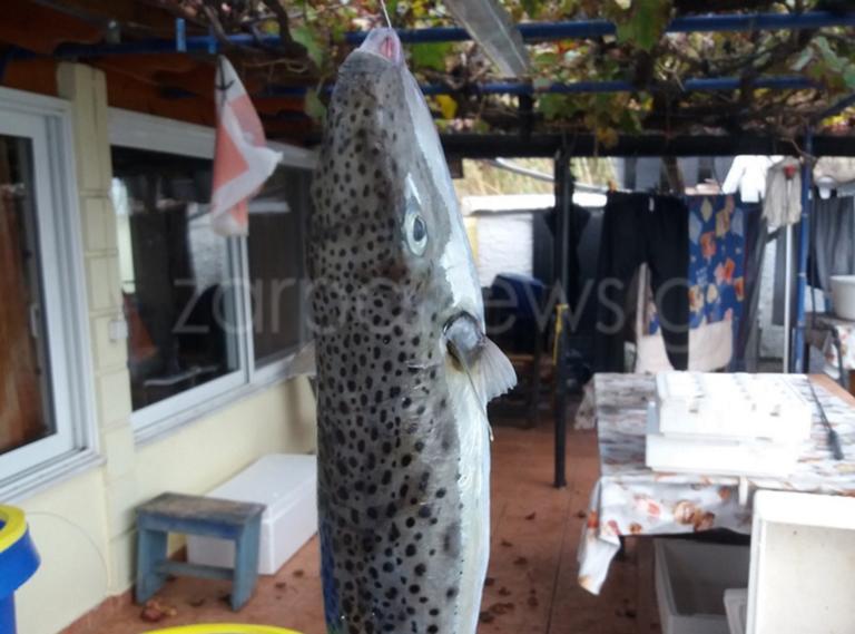 Χανιά: Ο μεγαλύτερος λαγοκέφαλος στα δίχτυα ψαρά! Οι εικόνες που προβληματίζουν [pics]