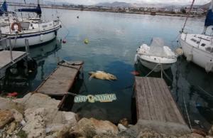 Ναύπλιο: Κοίταξαν στη θάλασσα του λιμανιού και είδαν μια νεκρή χελώνα ανάμεσα στις βάρκες