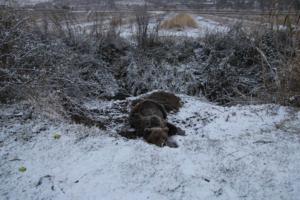 Πρέσπες: Αρκούδα έμεινε παγιδευμένη 4 μέρες σε παγίδα για αγριογούρουνα! Έτσι την έσωσαν [pics]