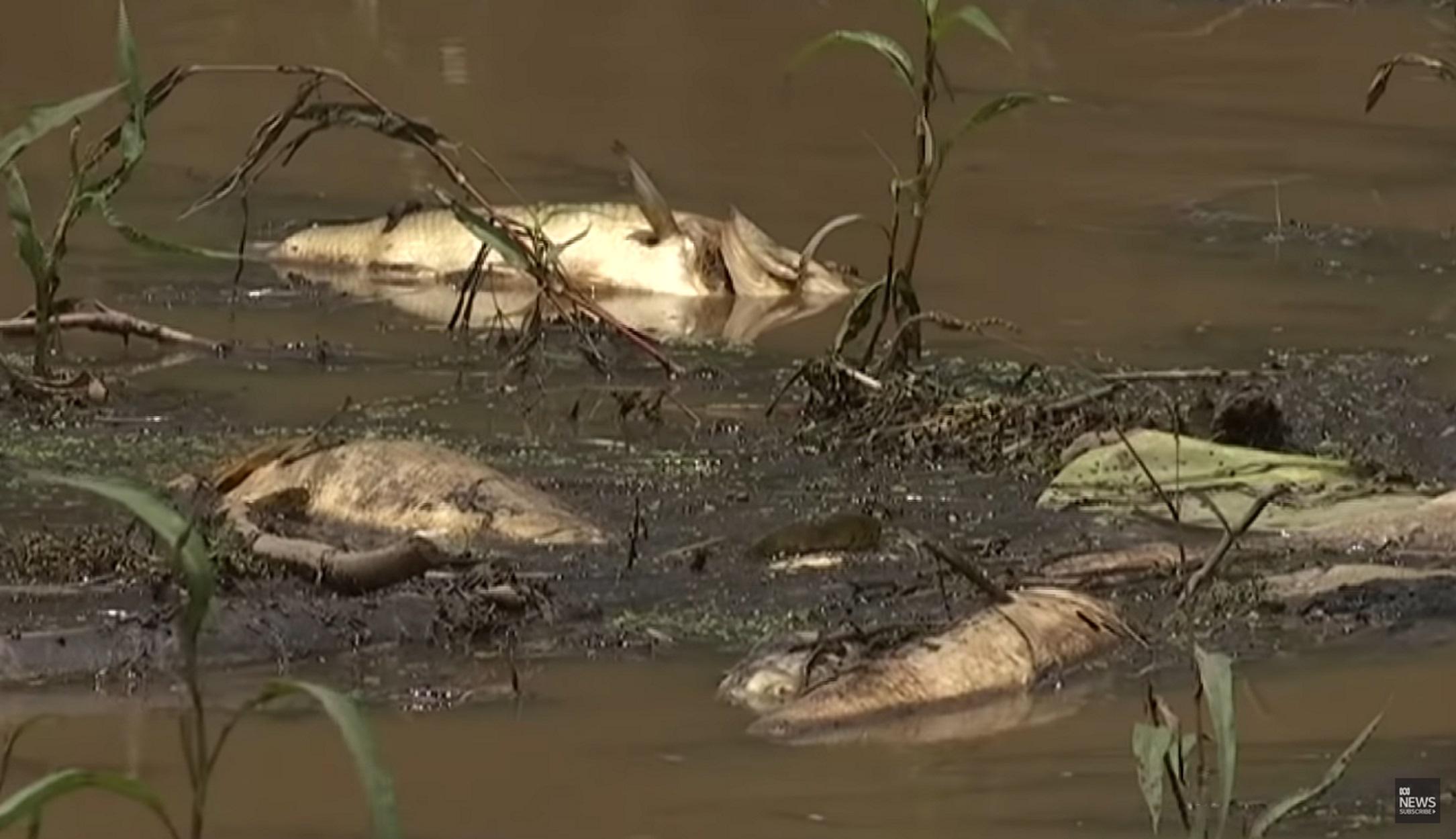 Χιλιάδες νεκρά ψάρια ξεβράστηκαν στις όχθες ποταμών - Τα αίτια αναζητούν ερευνητές