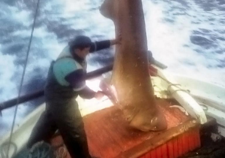 """Σκιάθος: Στα δίχτυα των ψαράδων ένα """"θηρίο"""" 400 κιλών! Το ύψος του ξεπερνούσε τα 5 μέτρα [pics]"""
