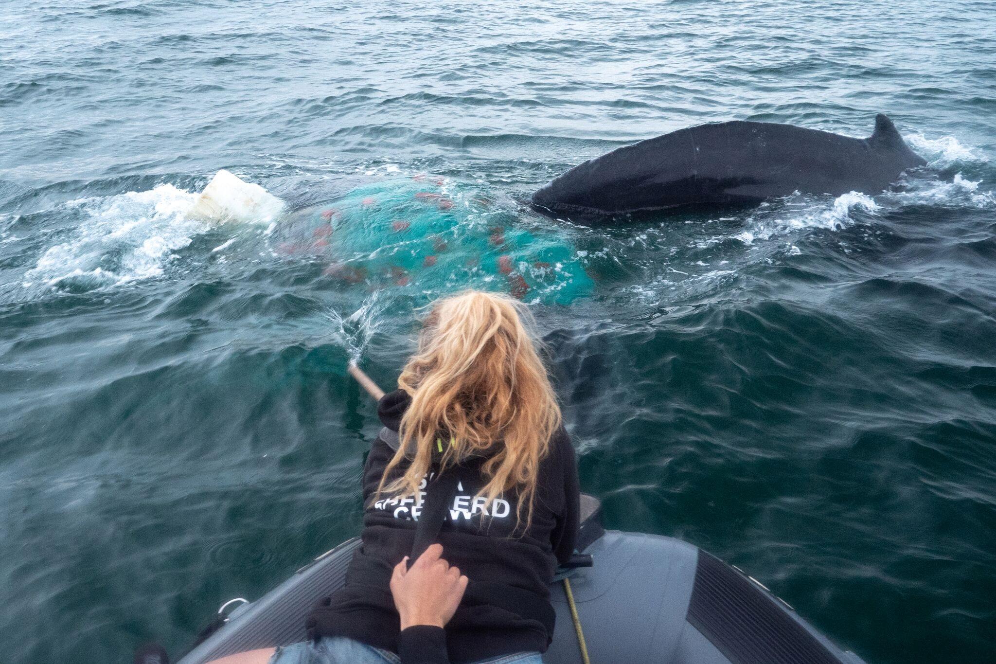 Μοντέλο σε αποστολή του πληθυσμού της φάλαινας μπελούγκα