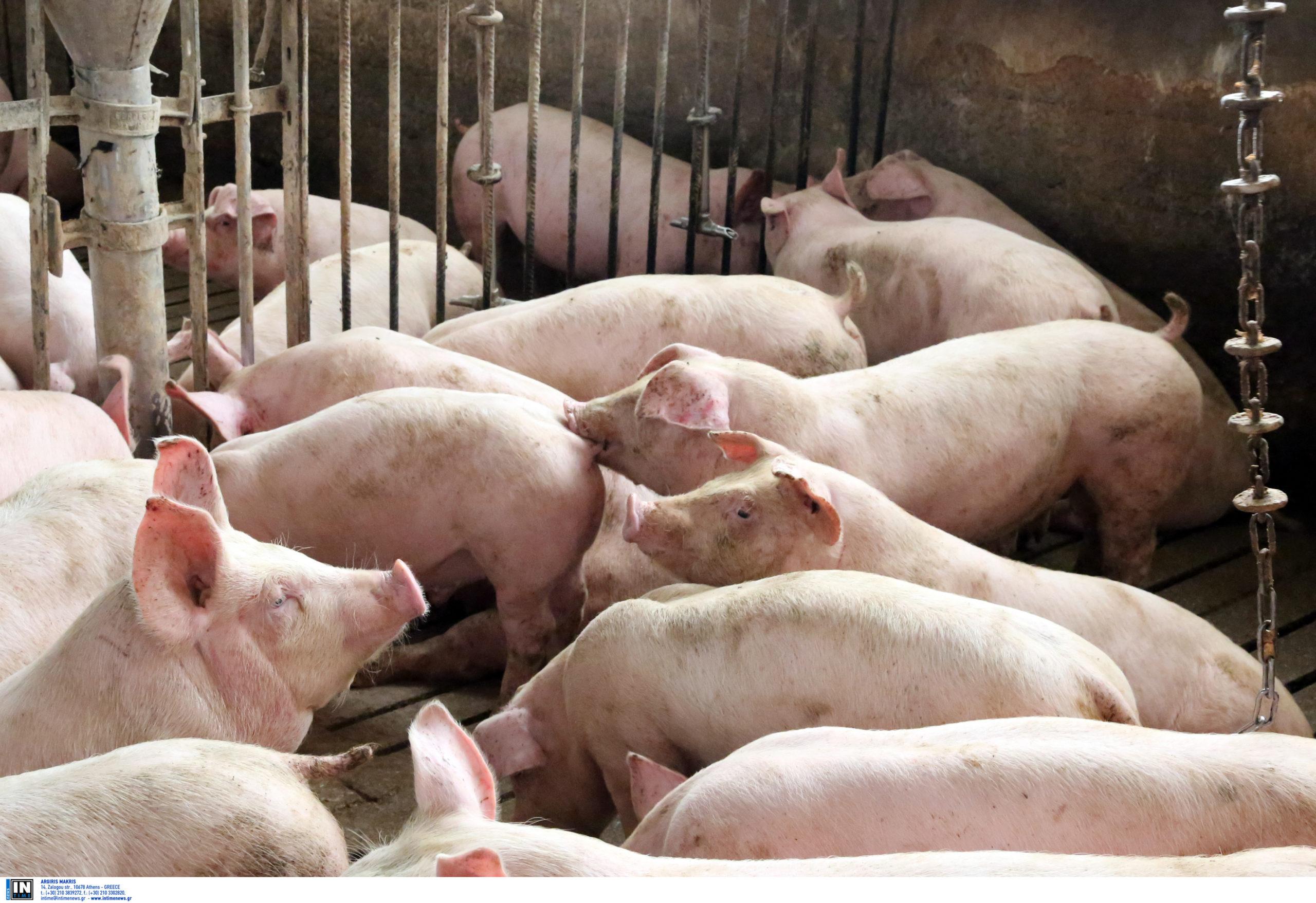 Αφρικανική πανώλη: Θανατώθηκαν όλα τα ζώα της μικρής φάρμας!