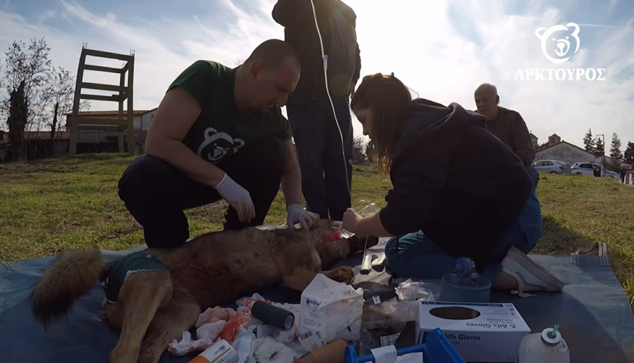 """Επιχείρηση απεγκλωβισμού της λύκαινας """"Ελισάβετ"""" που καρφώθηκε σε καγκελόπορτα! video"""