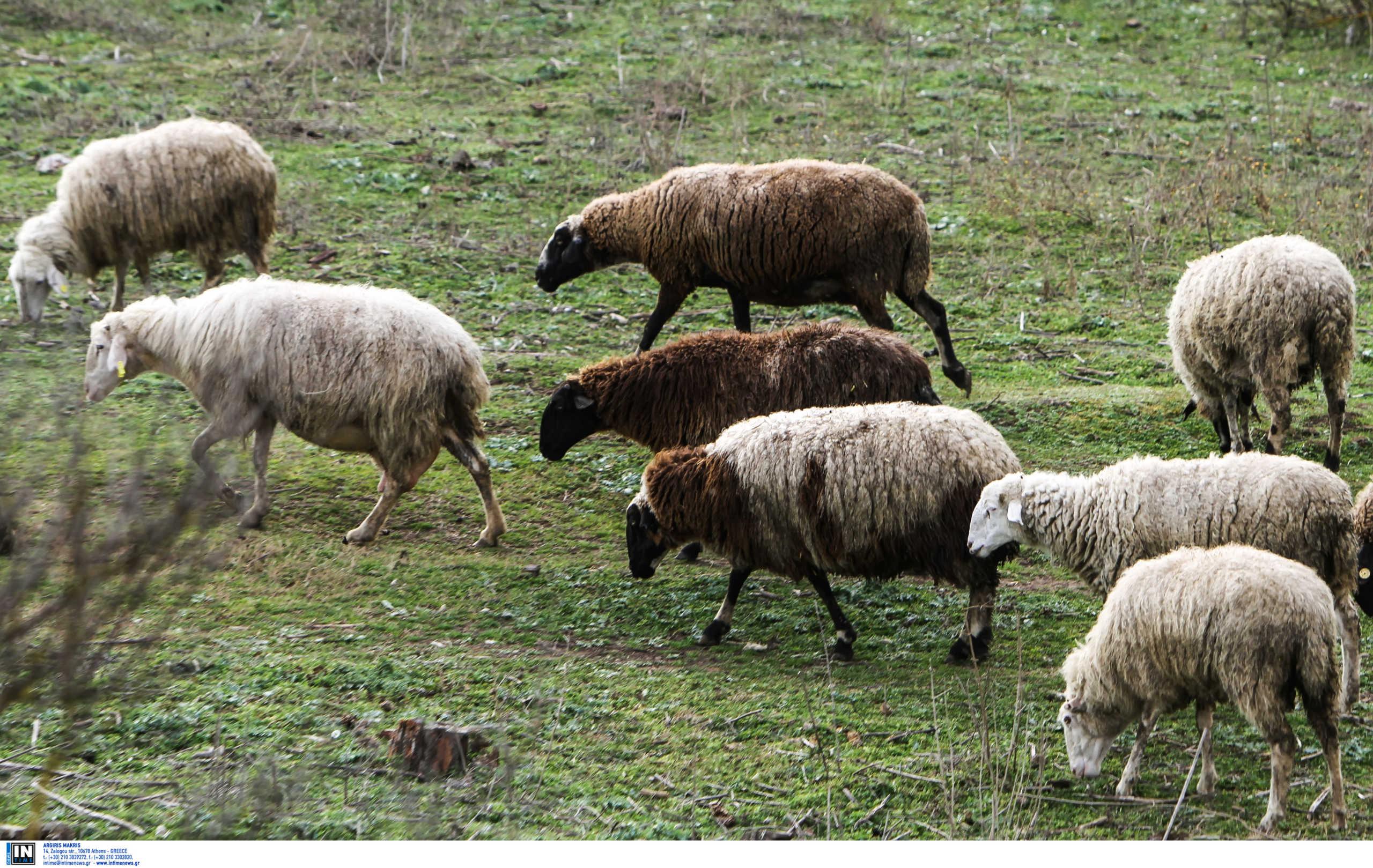 Ηράκλειο: Το ένστικτο κτηνοτρόφου ξεσκέπασε τη ζωοκλοπή σε χρόνο ρεκόρ – Οι έρευνες της αστυνομίας