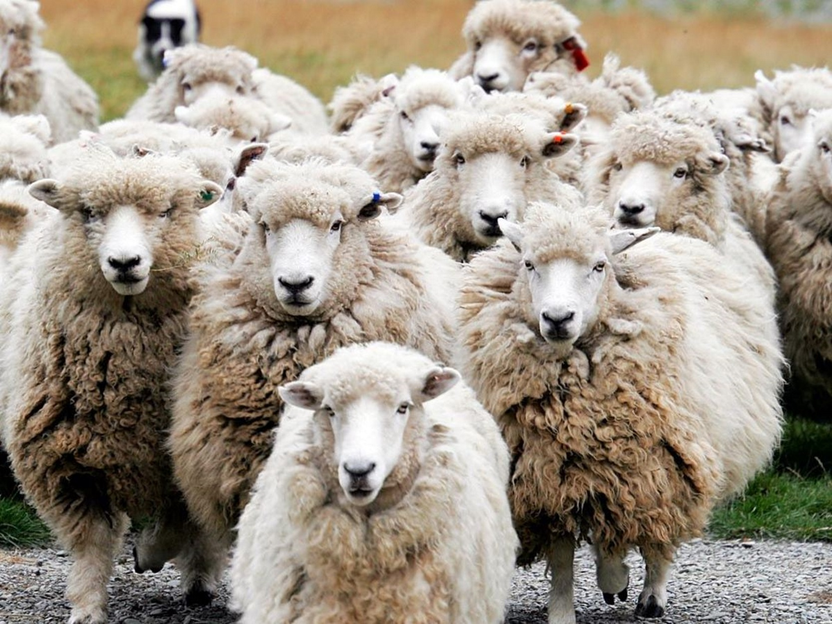 """""""Ζωντάνεψε"""" η υπόθεση της μεγαλύτερης ζωοκλοπής στην σύγχρονη Ελλάδα - Ο ρόλος του GPS σε... κλεμμένο πρόβατο!"""