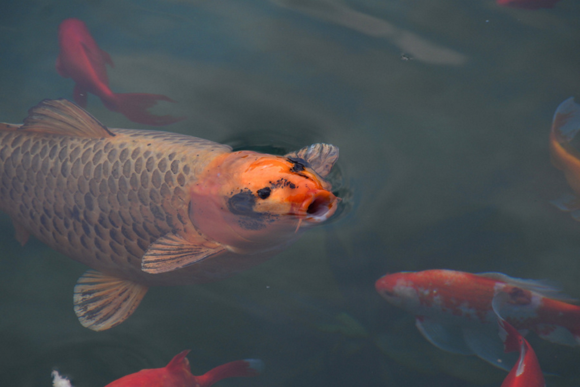 Κορονοϊός: Τα… ψάρια που έχουν στις γυάλες βγάζουν βόλτα οι Ρουμάνοι!