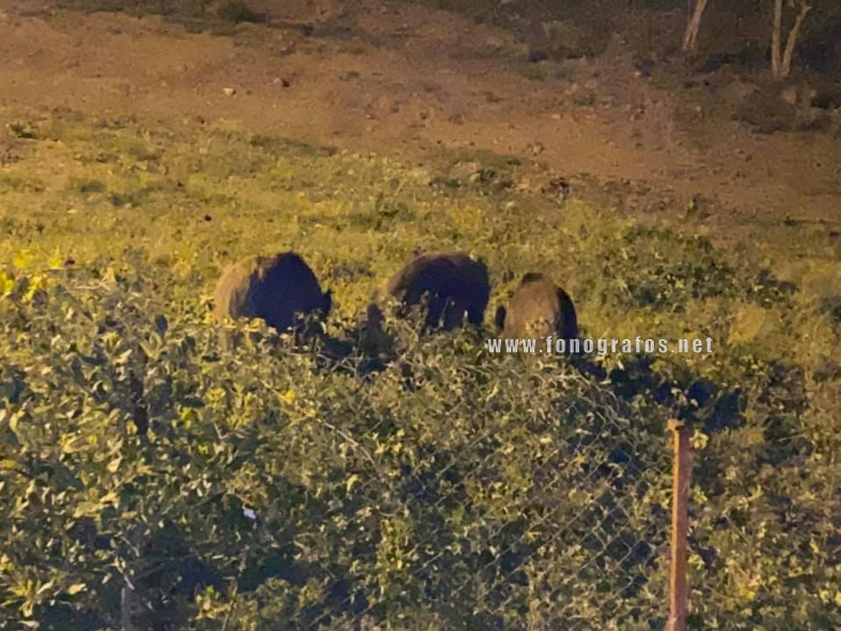 """Μακρακώμη: Ξανά στην αυλή του αντιδημάρχου αγριογούρουνα – """"Ήρθαν περισσότερα"""" (pics)"""