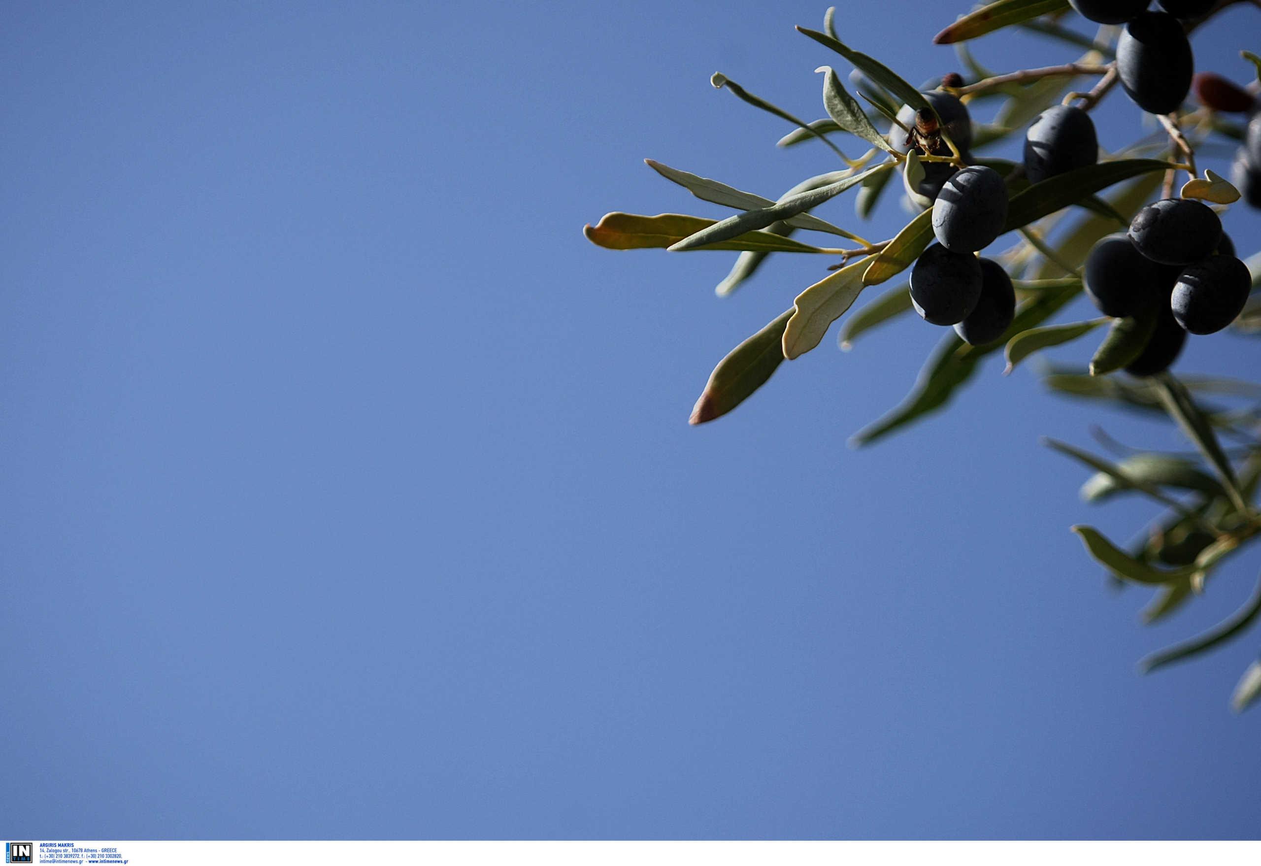 Κρήτη: Ασύλληπτη τραγωδία στο Ρέθυμνο από κλαδί ελιάς – Πέθανε 33χρονος από τη μια στιγμή στην άλλη