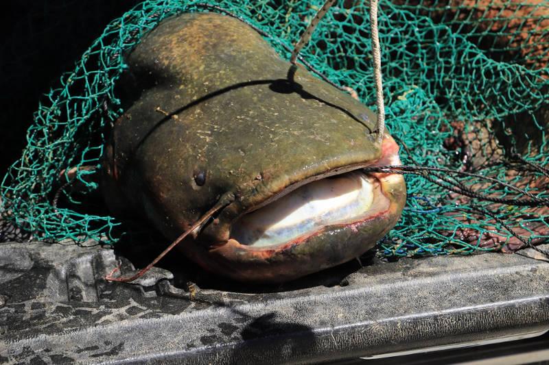 Κοζάνη: Σήκωσαν τα δίχτυα και είδαν αυτές τις εικόνες! Ένα ψάρι ασήκωτο 127 κιλών (Φωτό)