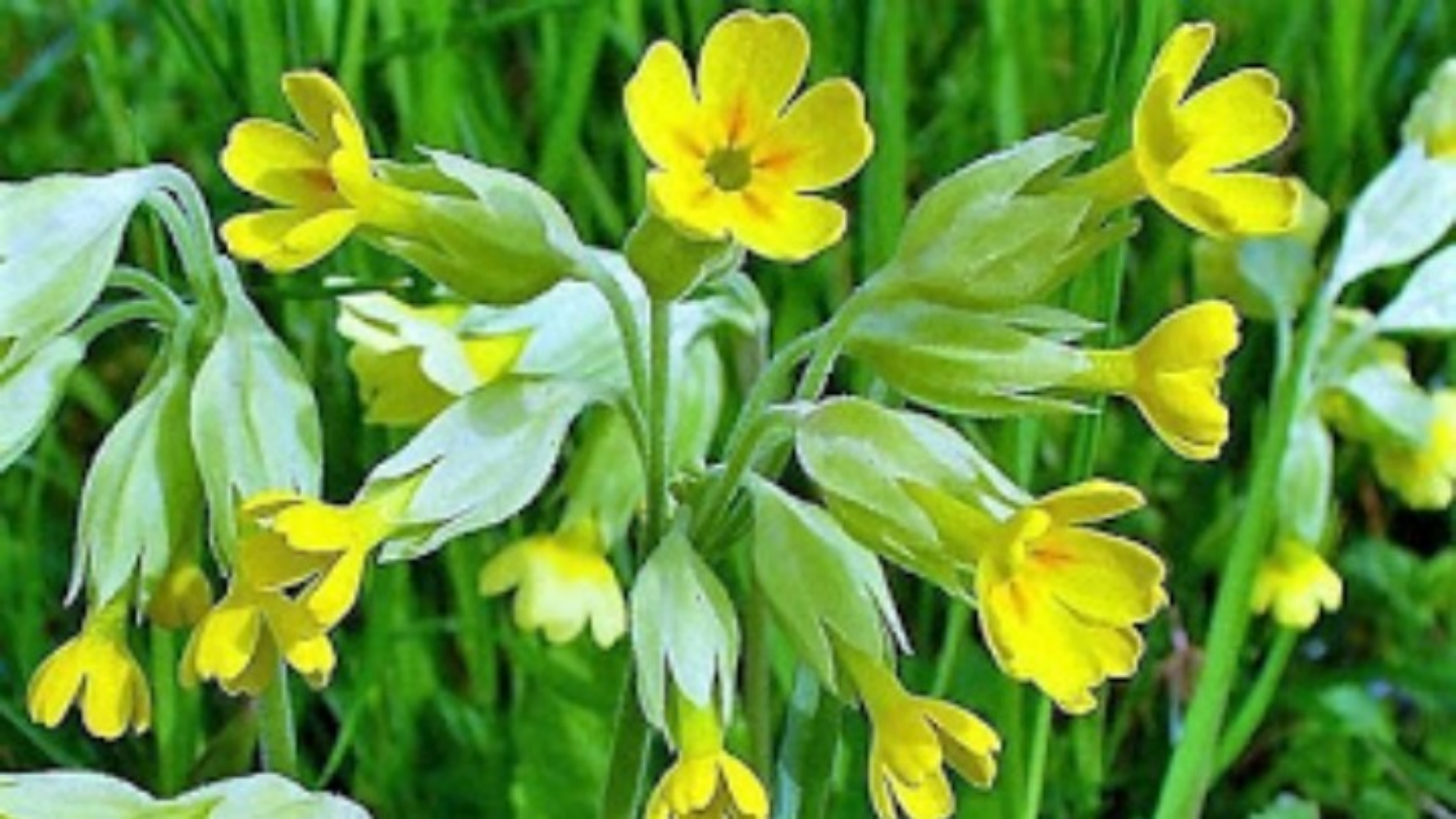 Το θεραπευτικό βότανο «λουλούδι του Δαρβίνου» που λίγοι γνωρίζουν