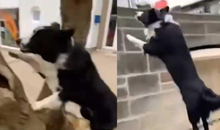 Σκυλάκος είναι άσσος στο Parkour και σαρώνει στο διαδίκτυο!