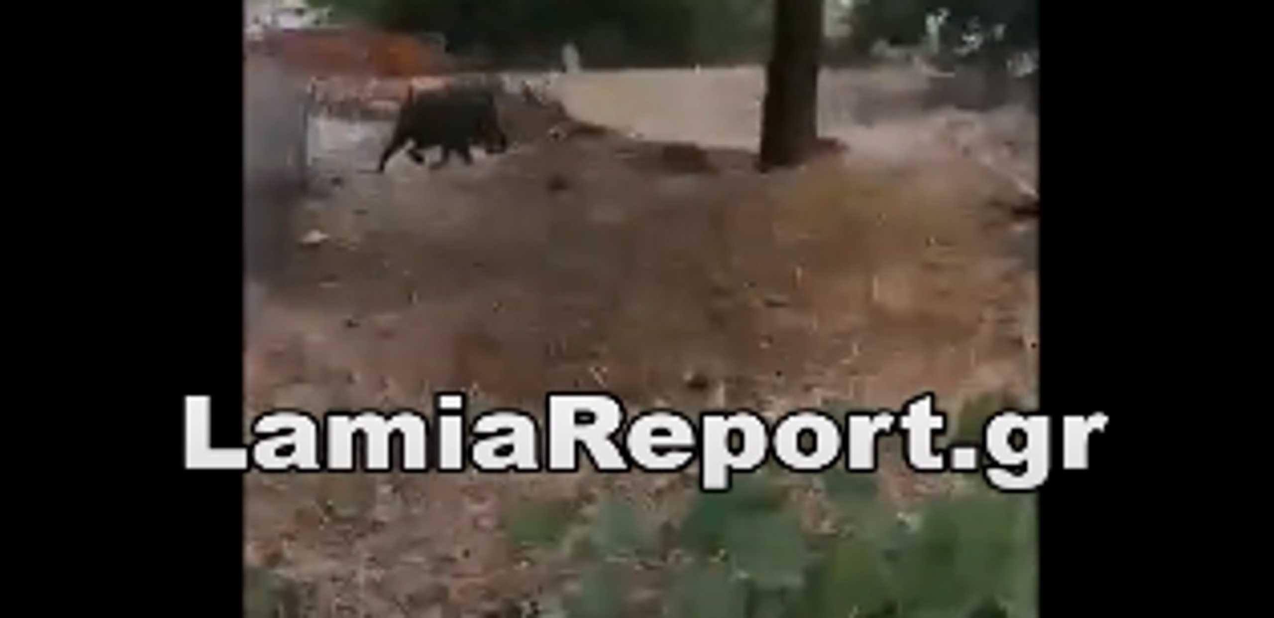 Μακρακώμη: Αγριογούρουνα κόβουν βόλτες στις αυλές (pics, video)