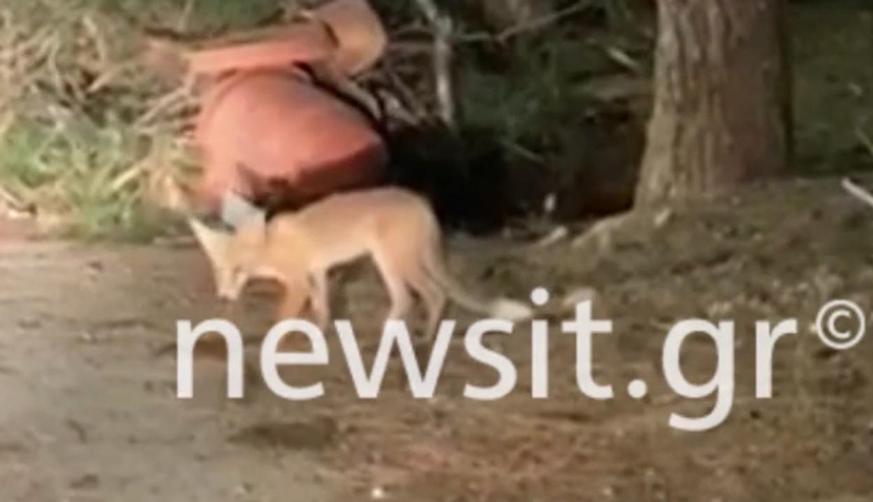 Αλεπού «νυχτοπερπατούσε» στην Βουλιαγμένη (video)
