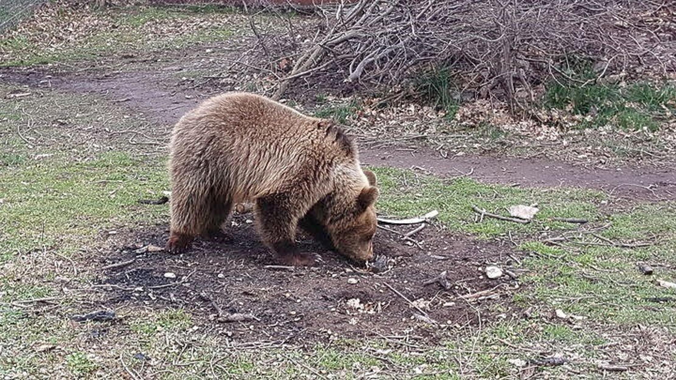 Μαγνησία: Επιδρομές από αρκούδες που τρώνε το μέλι των παραγωγών και αφήνουν πίσω τους ζημιές