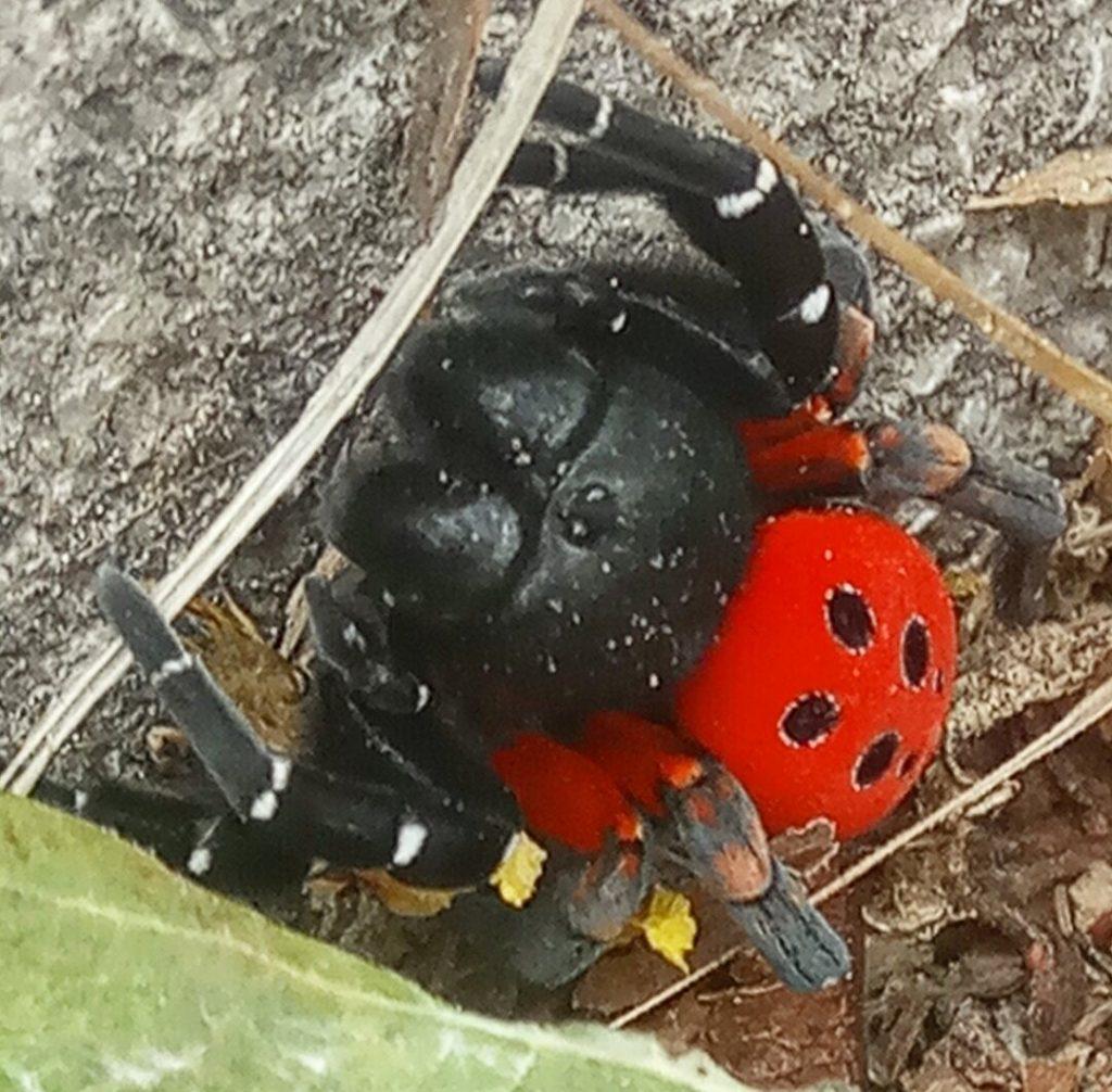 Τρίκαλα: Περπατούσε και είδε μπροστά της αυτή τη σπάνια αράχνη! Η άγνωστη ιστορία πίσω από τις εικόνες (Φωτό)
