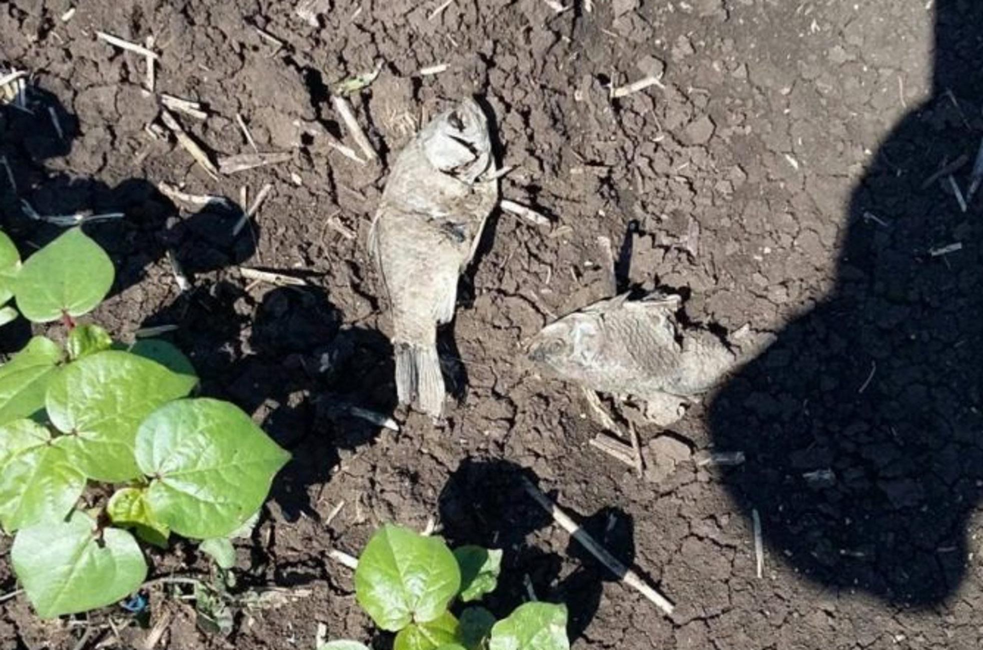 Λάρισα: Τα ψάρια βγήκαν στη στεριά και βρέθηκαν στα χωράφια τους! Η εξήγηση δεν ήταν σύνθετη (Φωτό)