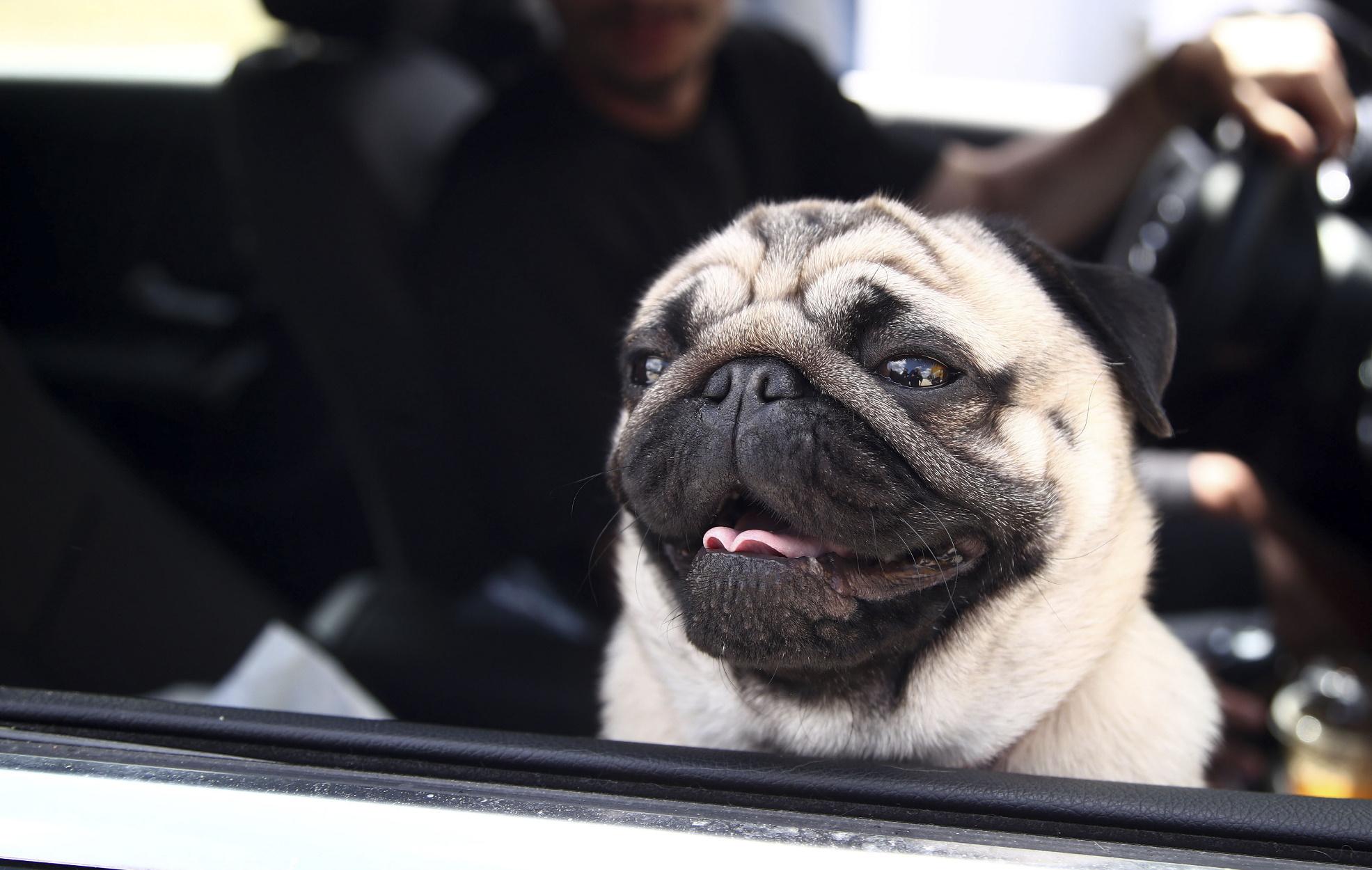 Προσοχή: Ποιοι σκύλοι κινδυνεύουν περισσότερο να πάθουν θερμοπληξία το καλοκαίρι!