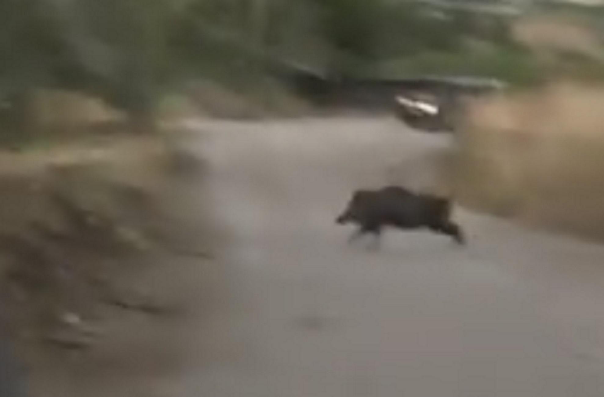 Φθιώτιδα: Σφαίρες! Αγριογούρουνα αναπτύσσουν ταχύτητα μπροστά στην κάμερα και προκαλούν δέος (Βίντεο)