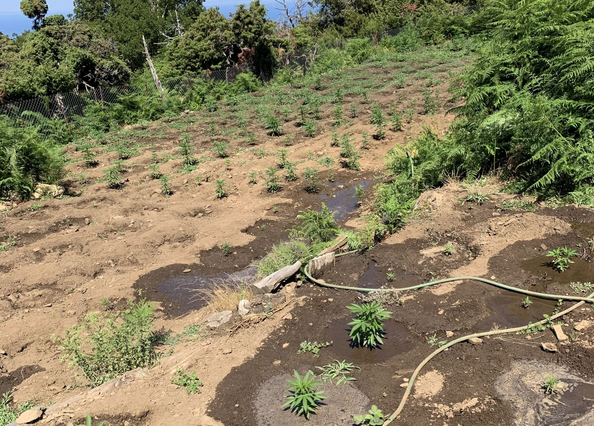 Σαμοθράκη: 415 χασισόδεντρα ξερίζωσε το Λιμενικό